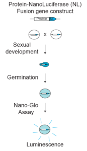 Figure depicting the workflow of a NanoLuciferase based high throughput screen for the detection of germination inhibitors.